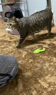 フリスビーで遊ぶ猫の写真・画像素材[4185371]