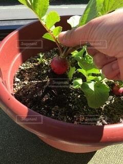 鉢の中に植物を持つ手の写真・画像素材[4922532]