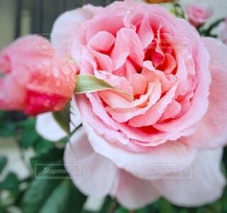 植物の上のピンクの花のクローズアップの写真・画像素材[4942306]