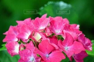 鮮やかな紫陽花のクローズアップの写真・画像素材[3385251]