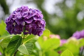 紫色の紫陽花のクローズアップの写真・画像素材[3385252]