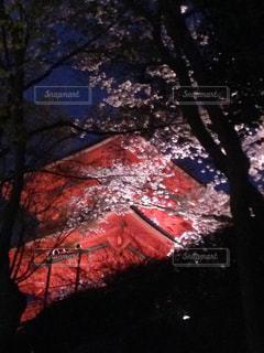桜,夜,屋外,京都,樹木