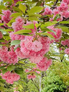 春,桜,さくら