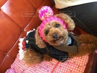 赤い革のソファをかぶっている犬の写真・画像素材[2682245]