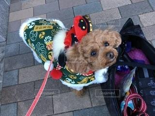 赤いひもをはいている犬の写真・画像素材[2700302]