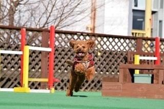 フリスビーを捕まえるために飛び跳ねる犬の写真・画像素材[2702222]