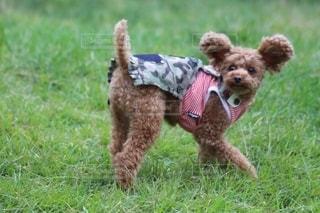 口の中にフリスビーを運ぶ茶色の犬の写真・画像素材[2702242]