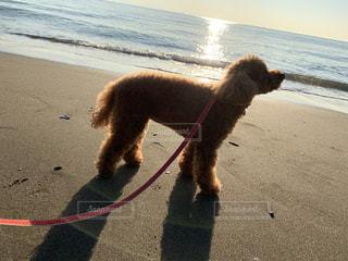 犬,空,動物,屋外,太陽,ビーチ,かわいい,綺麗,砂浜,水面,光,わんこ,可愛い,地面,トイプードル,朝陽,愛犬,ワンコ