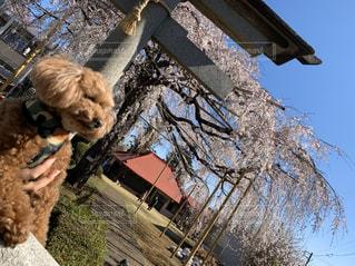 犬,春,桜,動物,屋外,神社,青空,しだれ桜,サクラ,満開,樹木,トイプードル,愛犬,さくら