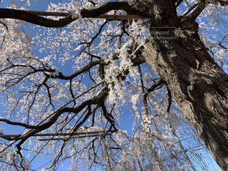 自然,空,花,桜,屋外,青空,サクラ,満開,樹木,草木,さくら