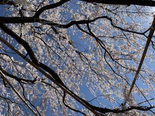 自然,空,花,桜,屋外,青空,青い空,しだれ桜,サクラ,樹木,草木,さくら