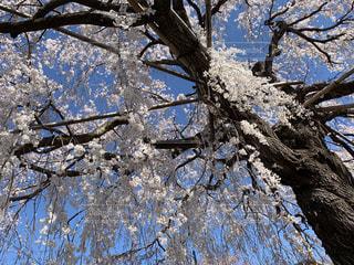 自然,空,花,春,桜,屋外,青空,しだれ桜,サクラ,満開,樹木,草木,さくら