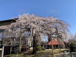 自然,空,花,桜,屋外,神社,青空,しだれ桜,サクラ,樹木,さくら,ブロッサム