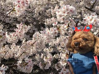 犬,自然,花,春,桜,動物,赤,サクラ,満開,樹木,リボン,トイプードル,愛犬,さくら