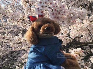 犬,自然,花,春,桜,動物,サクラ,満開,樹木,トイプードル,愛犬,さくら