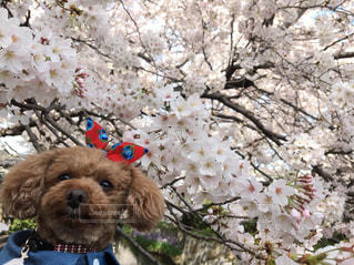 犬,自然,花,春,桜,動物,屋外,サクラ,満開,樹木,トイプードル,愛犬,さくら
