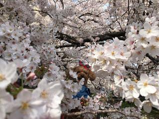 犬,自然,花,春,桜,動物,サクラ,満開,樹木,トイプードル,愛犬,草木,桜の花,さくら,ブロッサム