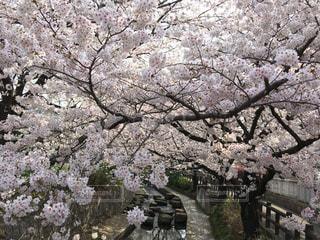 花,春,桜,屋外,川,サクラ,満開,樹木,草木,桜の花,さくら,ブロッサム