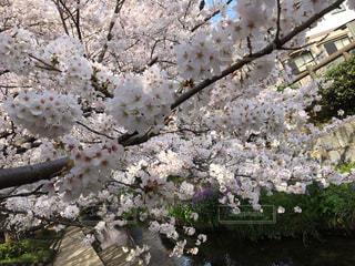 自然,花,春,桜,川,サクラ,満開,樹木,草木,桜の花,さくら,ブロッサム