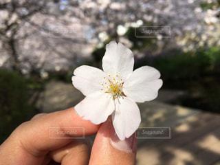 花,春,桜,屋外,川,花びら,サクラ,樹木,草木,さくら,ブロッサム