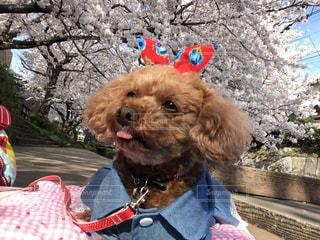 犬,春,桜,動物,屋外,川,サクラ,樹木,トイプードル,愛犬,さくら