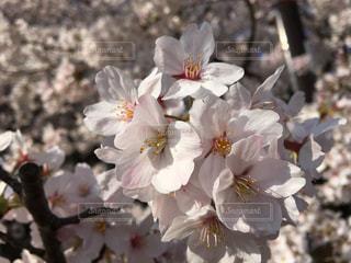自然,花,春,桜,花びら,サクラ,満開,樹木,草木,さくら,ブロッサム