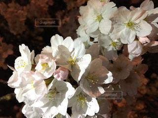 自然,花,春,桜,夜桜,景色,サクラ,樹木,草木,さくら,ブロッサム