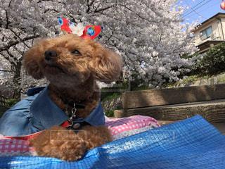 衣装を着た犬の写真・画像素材[3052744]