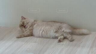 猫,動物,屋内,白,かわいい,景色,オレンジ,ねこ,子猫,オシャレ,壁,可愛い,お洒落,猫カフェ,ネコ科,ネコ,おしゃれ,顔洗う
