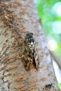 虫取り,蝉,アブラゼミ,夏の音,蝉の声