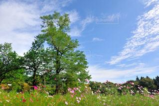 コスモス,秋空,小金井公園,涼しい風