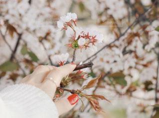 女性,花,春,桜,ネイル,木,枝,手,花見,花びら,サクラ,満開,指,イベント,草木,花弁,さくら,ブロッサム