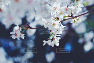 花,春,木,青,花見,鮮やか,サクラ,満開,イベント,装飾,カラー,草木,桜の花,さくら,ブルーム,ブロッサム