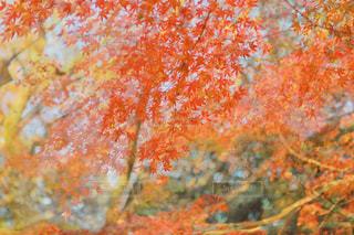 秋の紅葉の写真・画像素材[2616947]