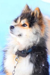 真冬の番犬の写真・画像素材[2715016]