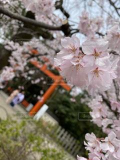 花,春,京都,花見,満開,イベント,八坂神社,桜の花,さくら