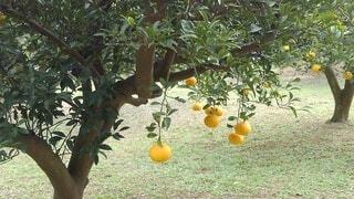 木からぶら下がっているりんごの写真・画像素材[3833837]