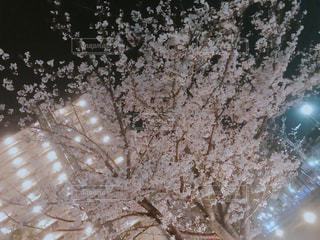 花,春,桜,木,花見,夜桜,家,お花見,イベント,マンション