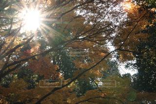 空,秋,森林,屋外,太陽,葉,日光,光,樹木,キラキラ,草木