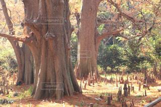 森の中の木の写真・画像素材[2870292]