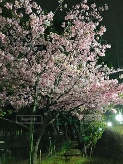 花,春,夜桜,樹木,草木,桜の花,さくら