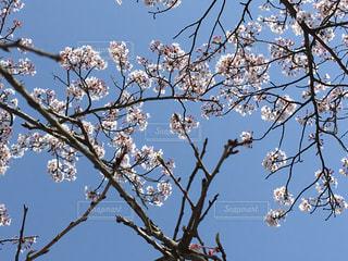 空,花,春,屋外,枝,青い空,樹木,草木,桜の花,さくら