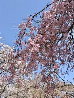 空,花,春,屋外,樹木,枝垂れ桜,桜の花,さくら