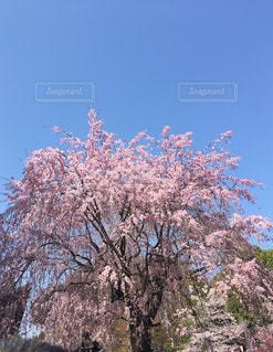 空,花,春,屋外,景色,樹木,草木,桜の花,さくら