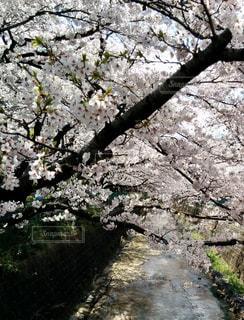 花,春,屋外,川,景色,樹木,草木,桜の花,さくら