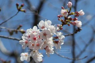 花,春,青空,枝,景色,鮮やか,草木,桜の花,さくら,ブルーム,ブロッサム