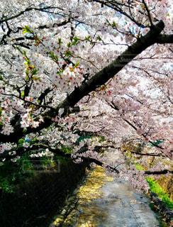 花,春,屋外,水面,景色,樹木,草木,桜の花,さくら,ブロッサム