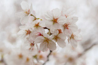 花,桜,屋外,景色,樹木,桜の花,さくら