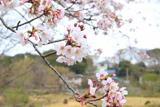 花,春,屋外,樹木,桜の花,さくら,さくらの花