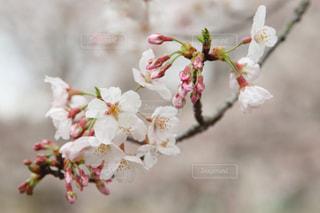 花,春,桜,屋外,ピンク,景色,草木,桜の花,さくら,ブロッサム